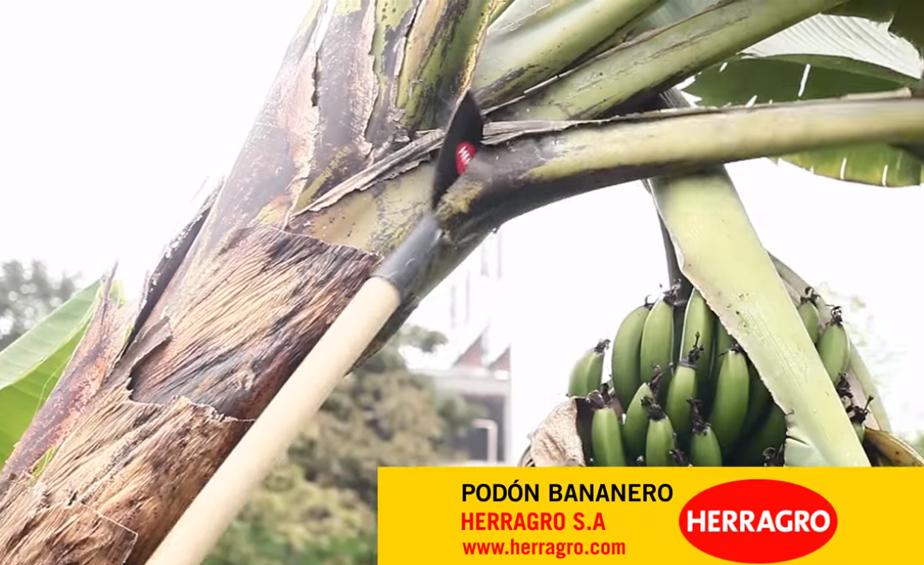 Conozca: ¿Cómo usar un Podón Bananero?